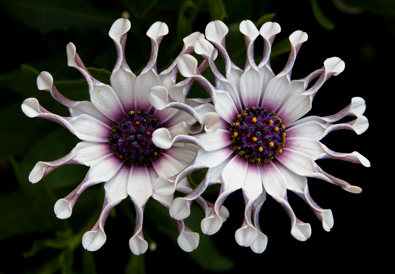 A pair of curly-petaled African Daisies lived on my patio last summer.<br /> <br /> Location: Hood River, Oregon<br /> <br /> Lens used: Canon 70-200mm f2.8 IS with 25mm extension tube