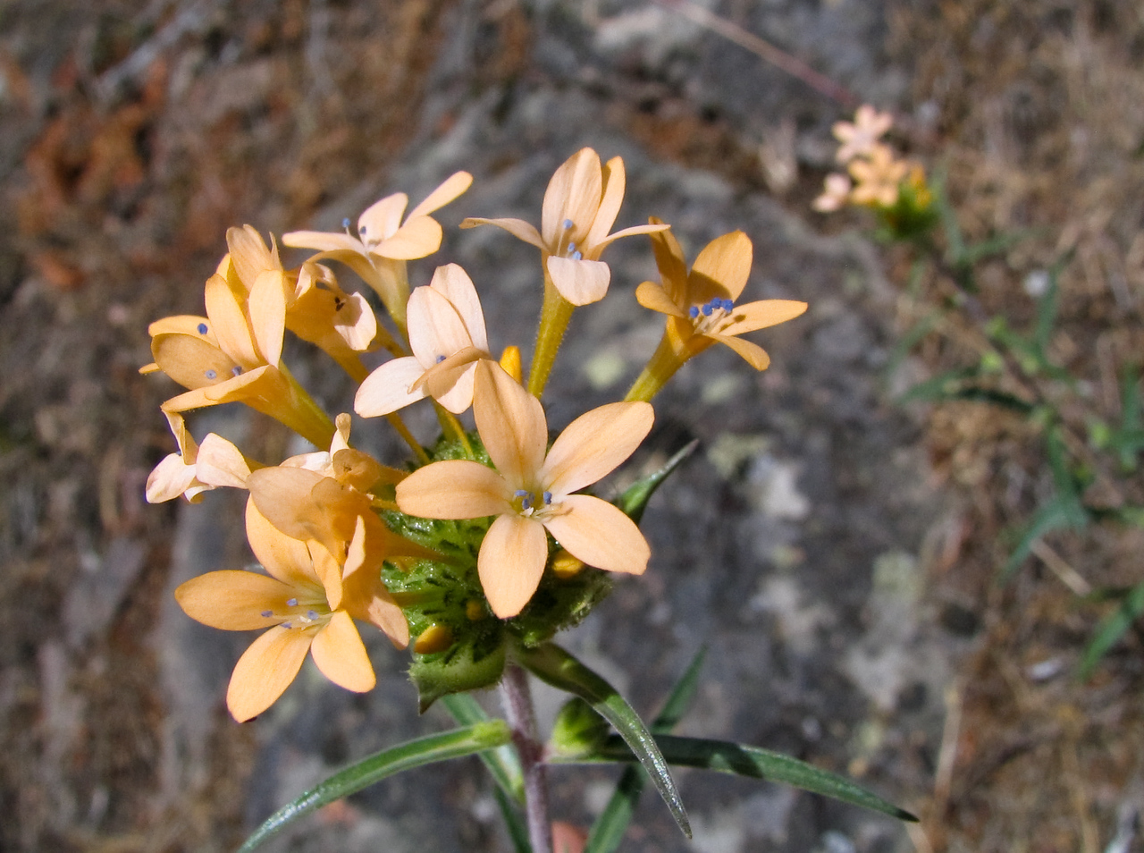 This is a variety of Collomia, best as I can tell.<br /> <br /> Location: Ochoco National Forest, Oregon<br /> <br /> Lens used: n/a (Canon S1 IS point-and-shoot)