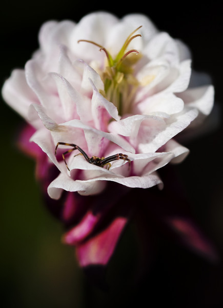 A small columbine plays host to an even smaller spider.<br /> <br /> Location: Troutdale, Oregon<br /> <br /> Lens used: Canon 100mm f2.8 IS Macro