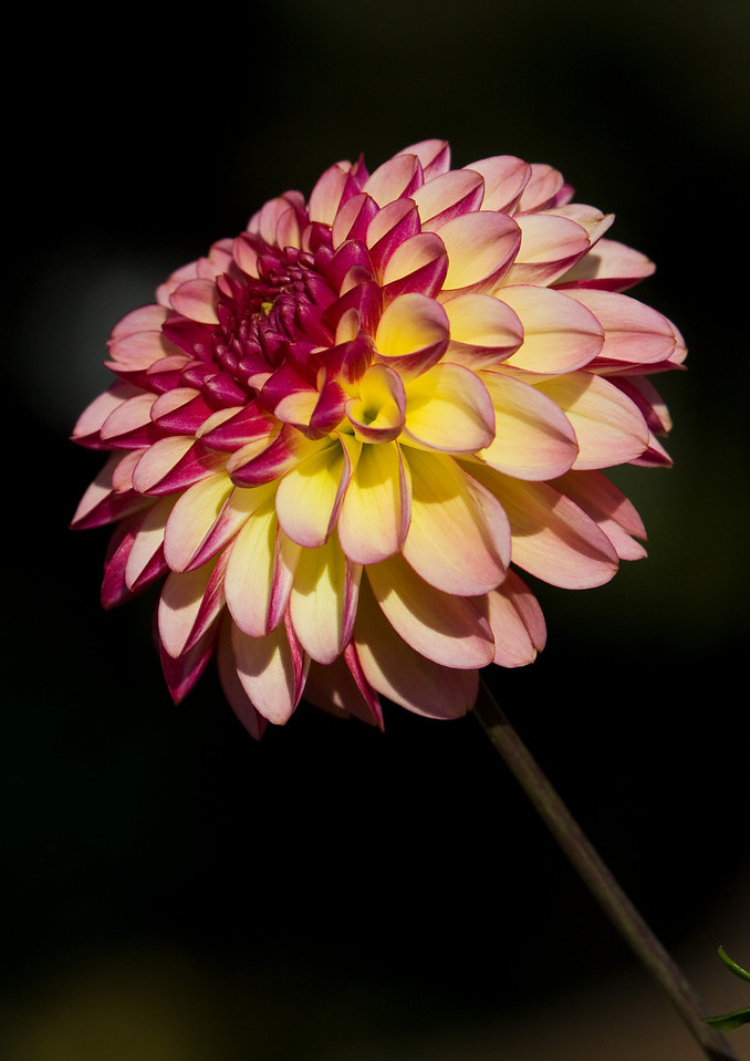 Dahlia against a dark background.<br /> <br /> Location: Hood River, Oregon<br /> <br /> Lens used: Canon 70-200mm f2.8 IS with 25mm extension tube