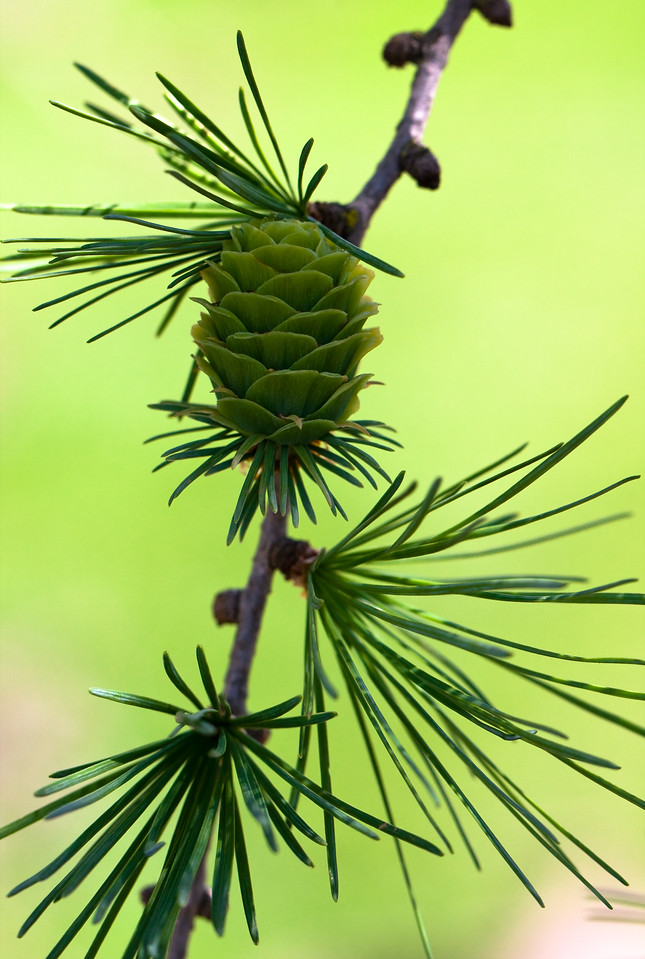 The delicate cone of the larch tree stands out against a lurid green background.<br /> <br /> Location: Troutdale, Oregon<br /> <br /> Lens used: Canon 100mm f2.8 IS Macro