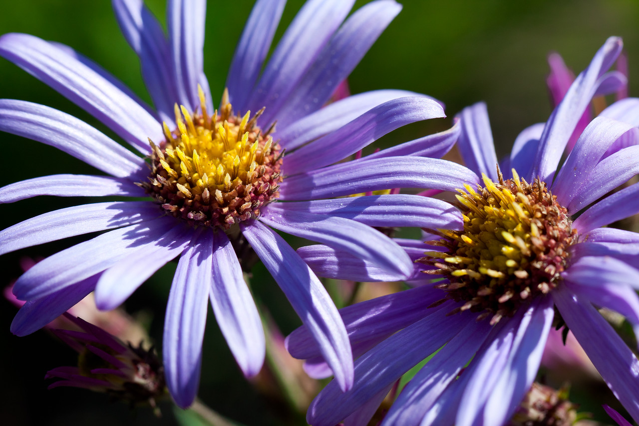I believe this variety of aster is a Cascade Aster.<br /> <br /> Location: Mitchell Creek Boulevard, Mt. Hood Meadows ski area, Oregon<br /> <br /> Lens used: Canon 100mm f2.8 IS Macro
