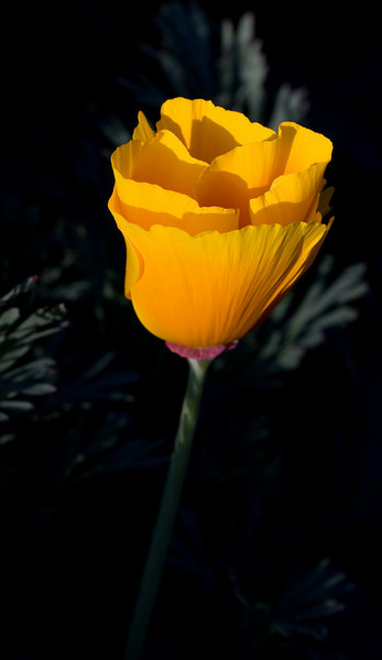 A lucky ray of evening sunlight 'light-painted' this California poppy for me.<br /> <br /> Location: Hood River, Oregon<br /> <br /> Lens used: Canon 60mm f2.8 Macro