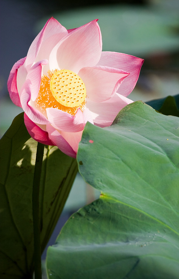A lotus blossom.<br /> <br /> Location: Ninh Binh, Vietnam<br /> <br /> Lens used: Canon 100-400mm f4.5-5.6 IS