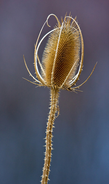 A dried teasel.<br /> <br /> Location: Painted Hills, Oregon<br /> <br /> Lens used: Canon 100-400mm f4.5-5.6 IS