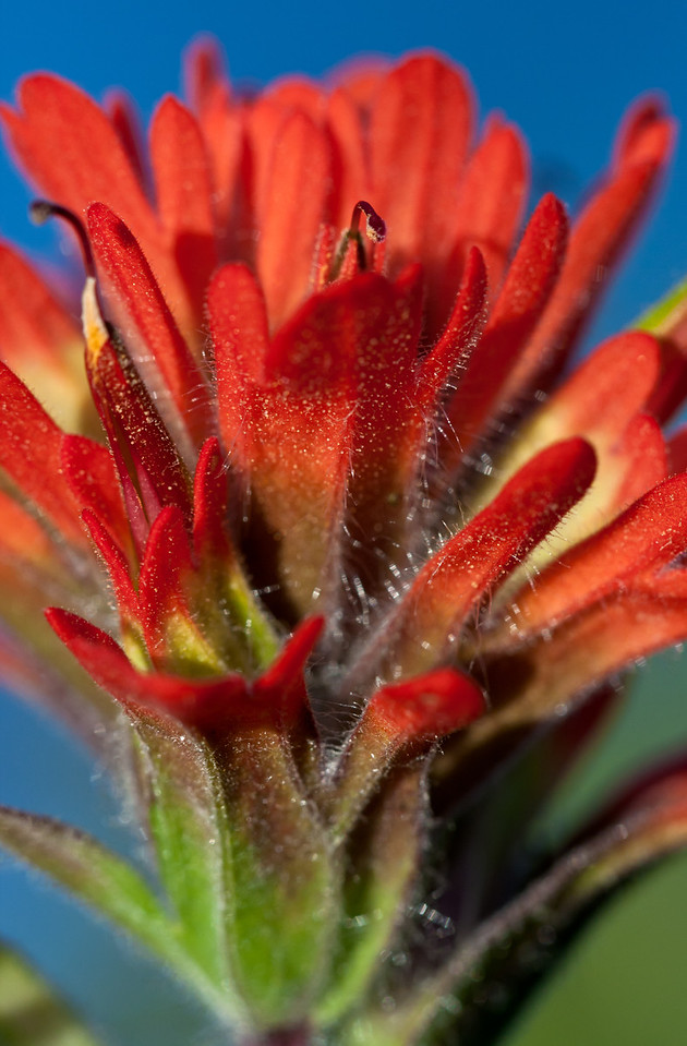 Indian Paintbrush.<br /> <br /> Location: Hood River, Oregon<br /> <br /> Lens used: Canon 100mm f2.8 IS Macro