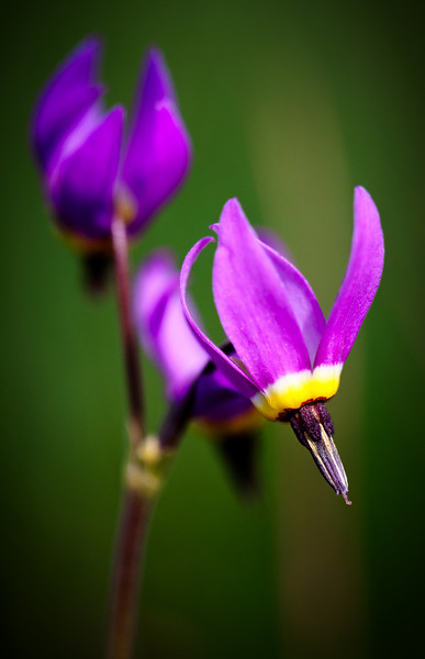Shooting Stars.<br /> <br /> Location: Rowena crest, Oregon<br /> <br /> Lens used: Canon 100mm f2.8 IS Macro