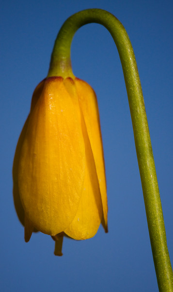 "A 3"" tall Yellow Bell, larger than life.<br /> <br /> Location: Rowena Crest, Oregon<br /> <br /> Lens used: Canon 100mm f2.8 IS Macro"