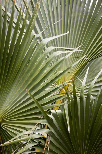 Borassus palm leaves.<br /> <br /> Location: Kidepo Valley National Park, Uganda<br /> <br /> Lens used: Canon 100-400mm f4.5-5.6 IS