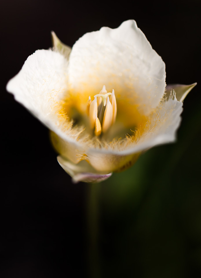 Call it a Calochortus subalpinus, a Subalpine Mariposa Lily or a Cat's Ear. Take your pick.<br /> <br /> Location: Stadium, Mt. Hood Meadows ski area, Oregon<br /> <br /> Lens used: Canon 100mm f2.8 IS Macro