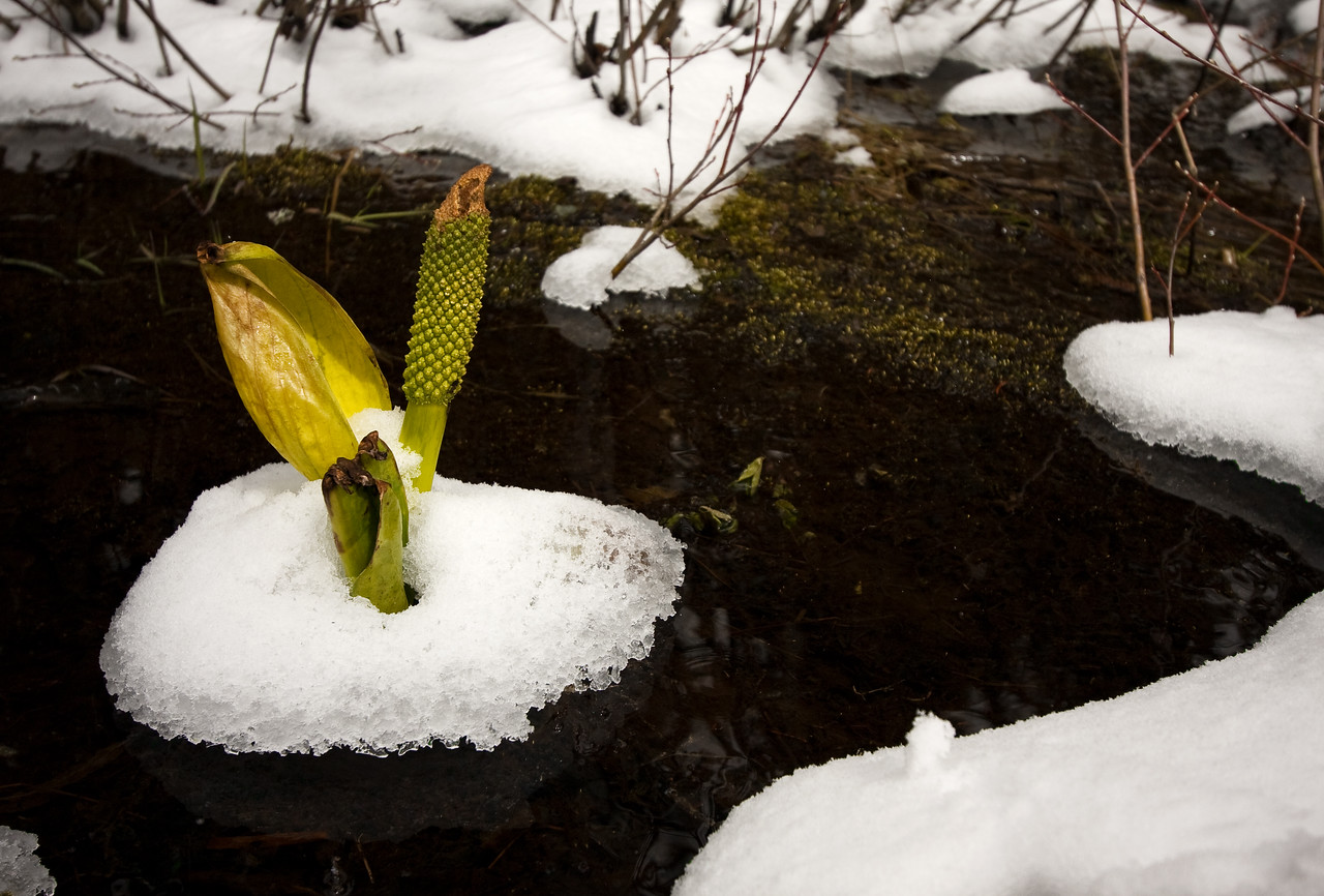 Skunk Cabbage = healthy stream and riparian area.  <br /> <br /> They're also the first flash of color you'll see in the spring around these parts (even beating out the crocus).  As this photo shows, not even a late-season snow fall can deter them from sprouting.<br /> <br /> Location: Mt. Hood, Oregon<br /> <br /> Lens used: Canon 10-22mm f3.5-4.5