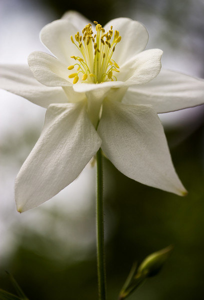 A white Columbine standing tall.<br /> <br /> Location: Troutdale, Oregon<br /> <br /> Lens used: Canon 60mm f2.8 Macro