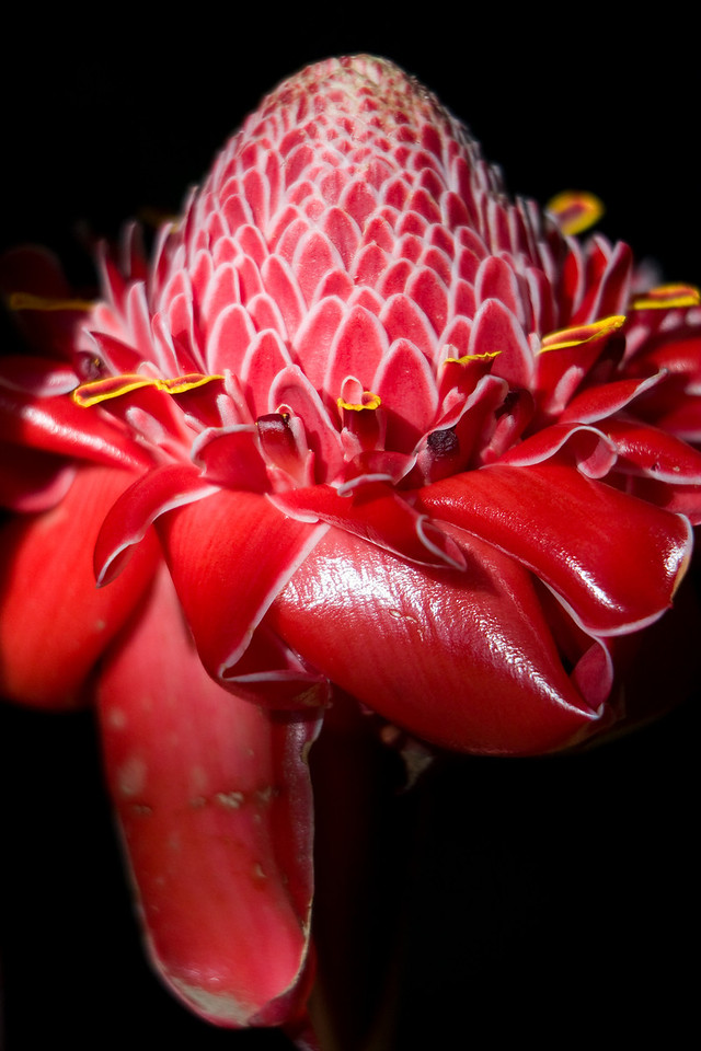 The Etlingera Elatior is known by a variety of names, a couple of my faves being Torch Lily and Porcelain Rose.<br /> <br /> Location: Tanna island, Vanuatu<br /> <br /> Lens used: Canon 70-200mm f2.8 IS with 25mm extension tube