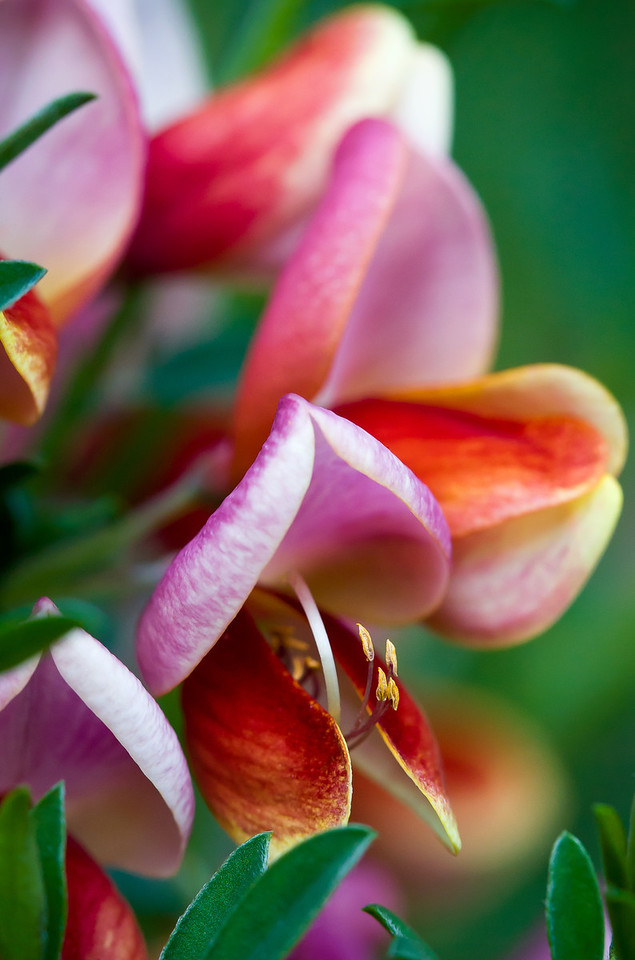 I got up close and personal with a shrub and the colorful little sweat pea-esque flowers it had.<br /> <br /> Location: Hood River, Oregon<br /> <br /> Lens used: Canon 100mm f2.8 IS Macro