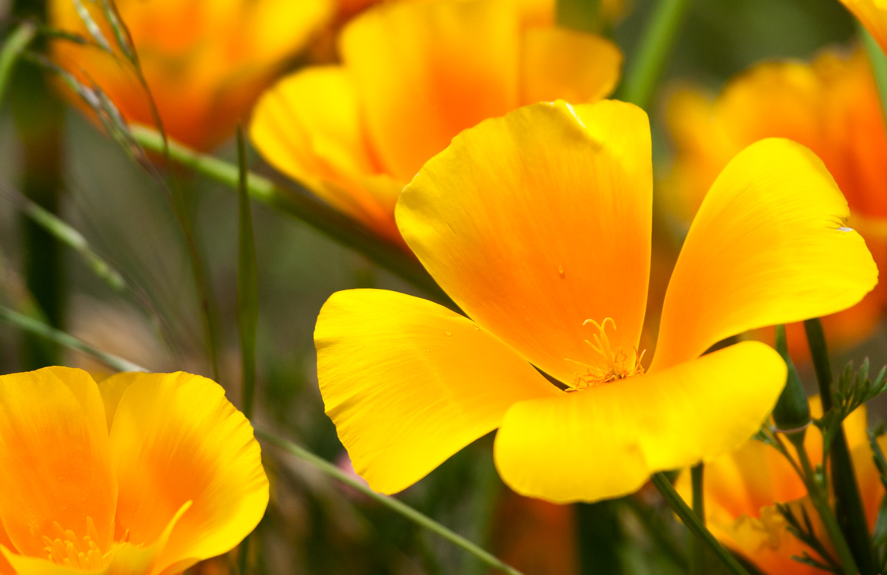California Poppies.<br /> <br /> Location: Hood River, Oregon<br /> <br /> Lens used: Canon 100-400mm f4.5-5.6 IS