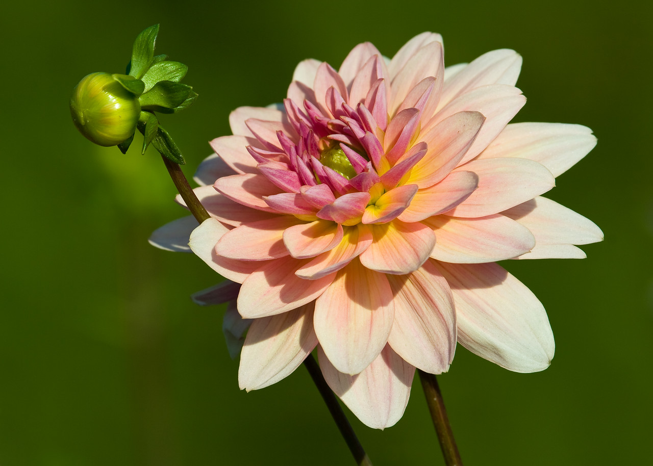 A dahlia in full bloom with a young, up-and-comer nearby.<br /> <br /> Location: Hood River, Oregon<br /> <br /> Lens used: Canon 100-400mm f4.5-5.6 IS