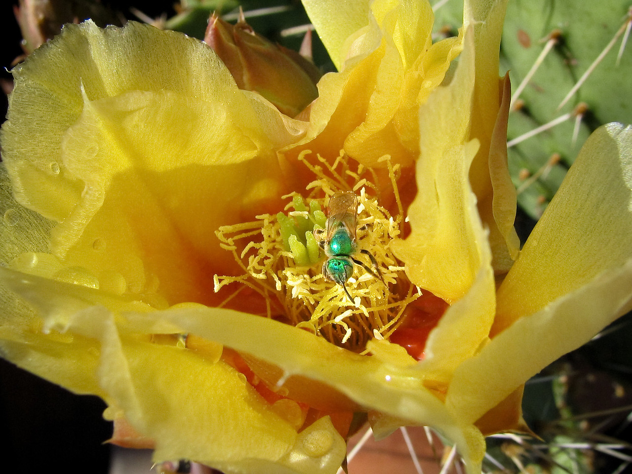 Macro shot of a cactus flower with a funky green bug crawling around inside.<br /> <br /> Location: Parkdale, Oregon<br /> <br /> Lens used: n/a (Canon S1 IS point-and-shoot)
