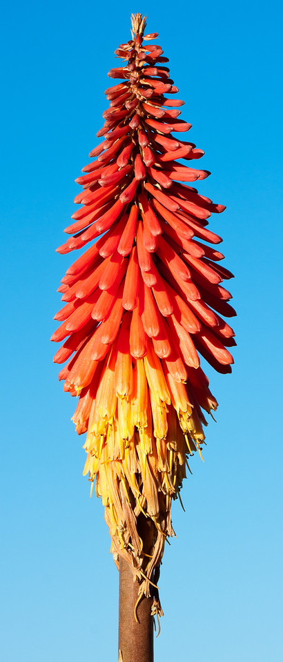 A Kniphofia uvaria (more commonly called a Red Hot Poker) stands against a bright blue sky.<br /> <br /> Location: Isla de Sol, Bolivia<br /> <br /> Lens used: Canon 100-400mm f4.5-5.6 IS