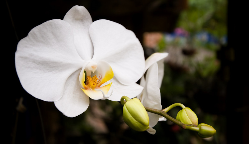 My wide-angle lens did a fair job of capturing this white orchid.<br /> <br /> Location: Nyaungshwe, Myanmar<br /> <br /> Lens used: Canon 10-22mm f3.5-4.5