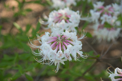 Rhododendron periclymenoides , pinxter azalea  Arnold Arboretum, Boston, 5/18/13