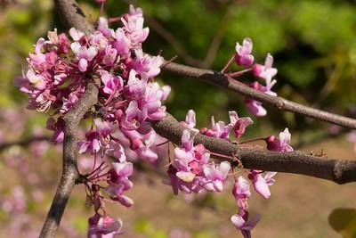 redbud (Cercis canadensis)  Arnold Arboretum 5-18-13