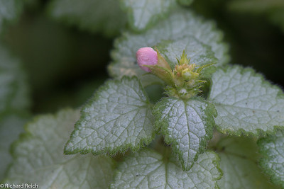 Lamium Maculatum 'pink pewter' - spotted dead nettle 6/16/13
