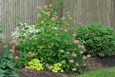 "Hydrangea arborescens 'invincibelle"" - 6/20/12  Some say the blooms of this hydrangea are very pink. Others say the pink is more of a dusty color.  In some situations, the stems of 'Invincibelle Spirit' may not be very strong. Some have reported that the stems tend to bend and break easily, at least while plants are young.  'Invincibelle Spirit' ""is very hardy, blooms on new wood (which means that flowering is very reliable), and flowers from early summer until frost"".   The most important breakthrough in Hydrangea for a decade, this pink-flowered H. arborescens cultivar blooms constantly from summer through fall, remains hardy even in the far north, and covers itself in more than 100 big blooms every season. An extraordinary improvement over older varieties of this native species, Invincibelle® Spirit lives up to its name with unstoppable bloom strength.  Six to 8 inches wide, these mophead blooms open a dark, rosy pink and slowly mature to bright pink. An arresting sight in the sunny to partly shaded garden, they are also a superb cutflower, fresh or dried. The flowers begin in midsummer in most climates, continuing vigorously through autumn and ceasing only with first frost. Invincibelle® Spirit is hardy through zone 3 in the north, an absolutely unprecedented cold-hardy cultivar!  The blooms are not the only source of color from this remarkable shrub. The large, toothed green foliage turns buttery yellow in autumn, remaining on the plant for many weeks before dropping for winter. Fall is truly the standout season for Invincibelle® Spirit, with blooms and fall foliage changes present on the shrub at the same time.  Expect Invincibelle® Spirit to reach just 3 to 4 feet high and wide, with a very dense, well-branched habit that covers itself in blooms. It fares best in soil on the acidic side, and needs protection from strong afternoon sun in the moderate and southern/southwestern portions of its hardiness range."