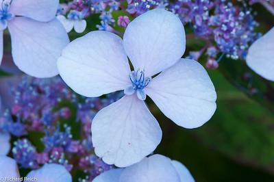 Hydrangea macrophylla 'Blue Bird' - 6/7/2011