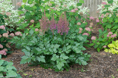 "False spirea, Chinese astilbe, Astilbe chinensis 'Visions in Red' - 6/20/12  Shorter than 'Visions in Pink' with striking burgundy–red foliage and glowing burgundy–red plume panicles to 24"". Tolerates drier soils better than other astilbes.  This is a relatively low maintenance perennial, and is best cleaned up in early spring before it resumes active growth for the season. It is a good choice for attracting butterflies to your yard."