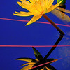 Reflection at the Lily Pad