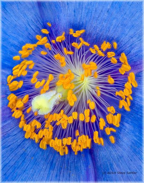 Blue Poppy at Longwood Gardens