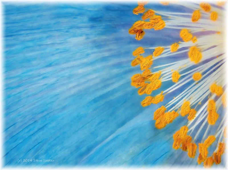 Blue Poppy at Longwood (2)