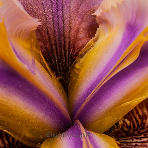 Iris and Gold Dust