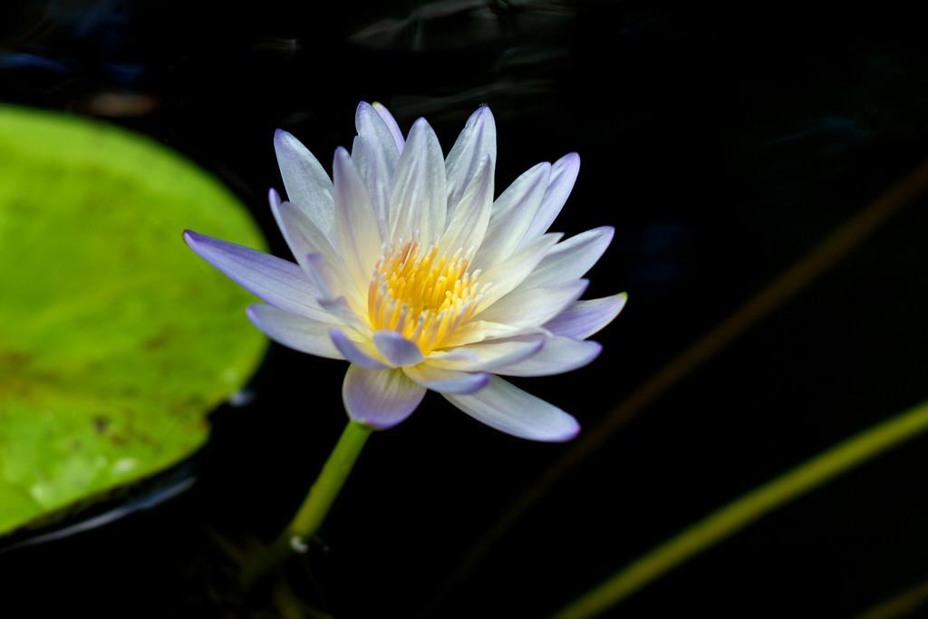 """Water Lily """"Green Smoke"""""""