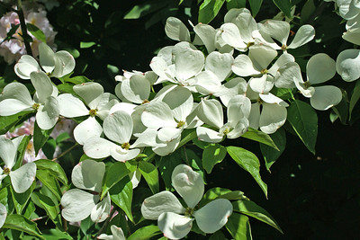 Dogwood-like Blooms, Fellow's Riverside Gardens, Youngstown, OH.