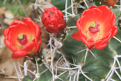 Red Hedgehog Cactus Flowers, Santa Fe, NM.