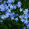 Plumbago Blooms, Fellow's Riverside Gardens, Youngstown, OH.