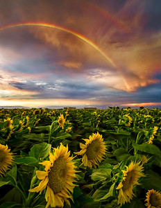 Rainbow Sunflowers