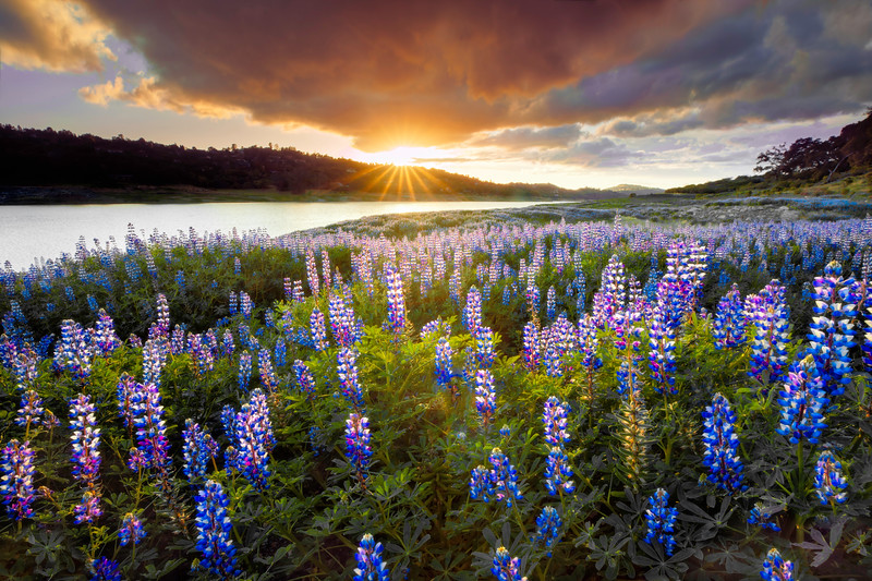 Lupines at the Lake