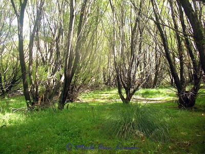 Willows near the river