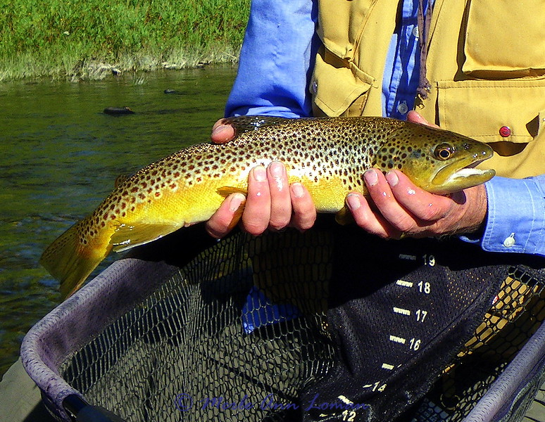 A beauty - brown trout