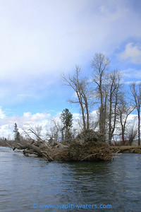 A large cottonwood tree deposited in the river