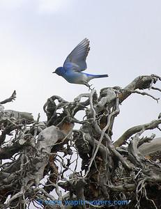 Mountain Bluebirds are here already