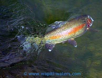 colorful trout