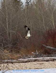 An osprey with a whitefish.