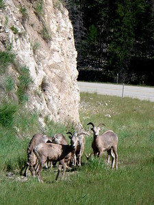 Rams, lots to see on the Big Hole