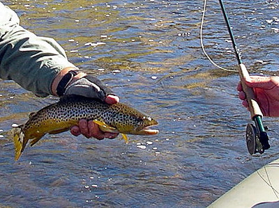 Big Hole brown trout in September