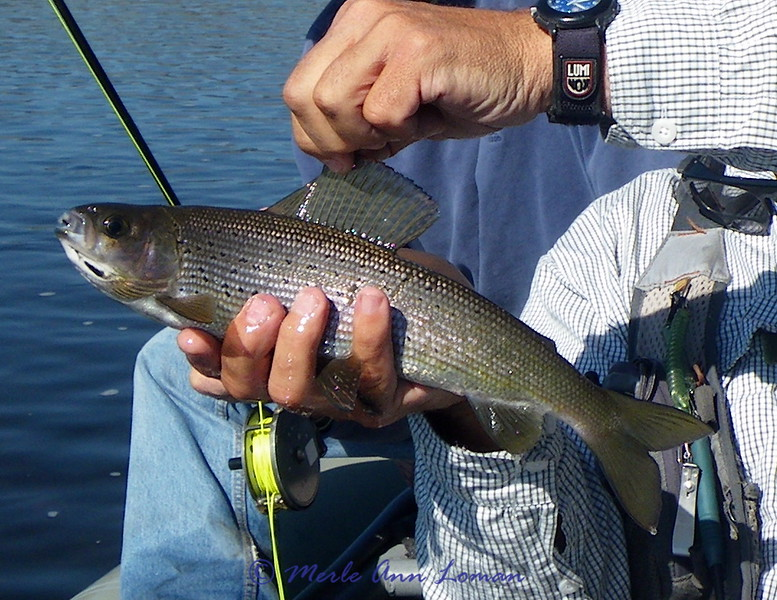 caught a grayling - carefully released and quickly