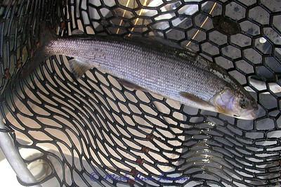 Fluvial Arctic Grayling - Endangered Species in Montana