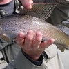 Arctic grayling caught and released in the Big Hole River